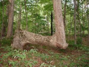 cherokee indian marker tree