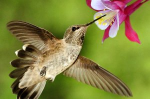 Hummingbird-at-Columbine