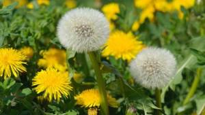 main_dandelion_th