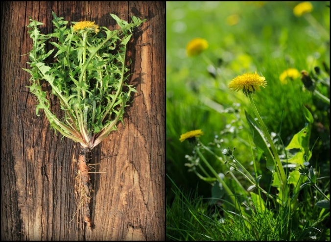 How-To-Harvest-Dandelion-Roots-7-Ways-To-Use-It.jpg