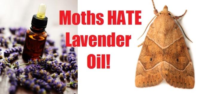 lavender-moths1.jpg