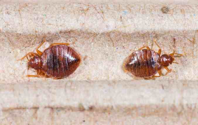 bed-bugs-close-up-01312017.jpg