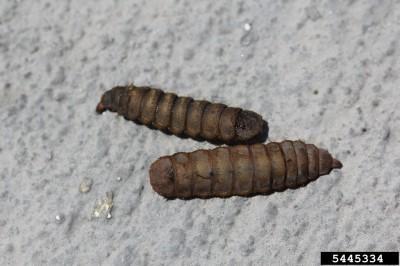 soldier-fly-larva1-400x266.jpg